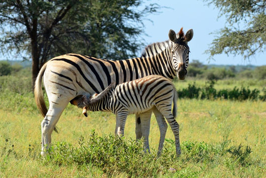 Baby Zebra Breast-feeding