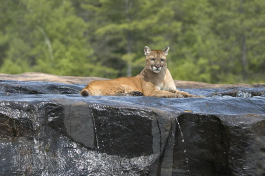 Cougar lying in river Wall Mural