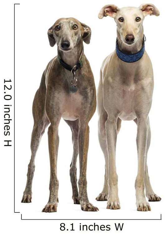 Two Spanish Galgo Standing, 6 Years Old, Isolated on White Wall Decal