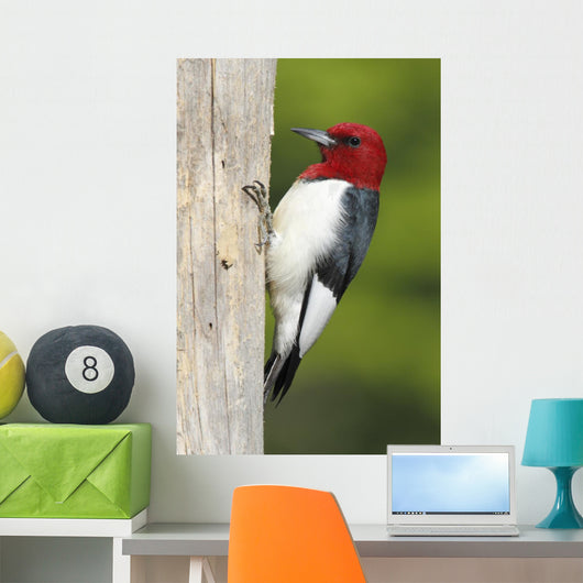 Red-headed Woodpecker Melanerpes Erythrocephalus Wall Mural