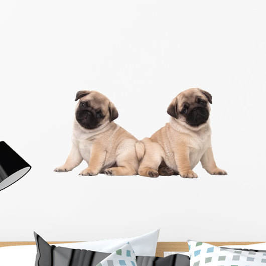 Two Pug Puppy White