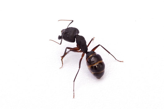 Ant Isolated on White Wall Decal