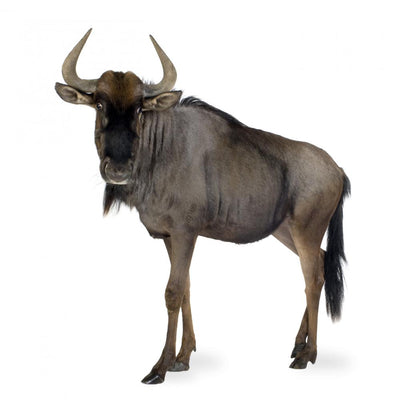 Blue Wildebeest Connochaetes Taurinus Wall Decal