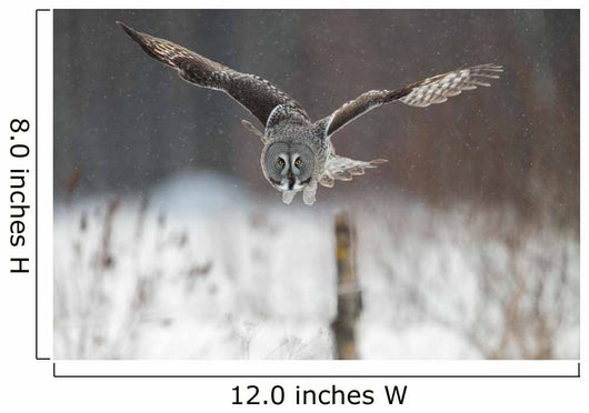 Great Grey Owl (Strix nebulosa) hunting in the falling snow