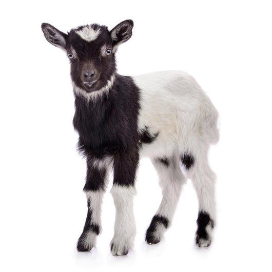 farm animal goat isolated