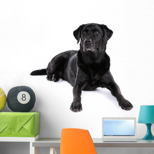 Black Labrador Retriever Dog on a White Background Wall Decal