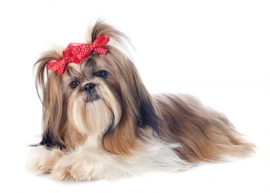 Shih Tzu Wall Decal