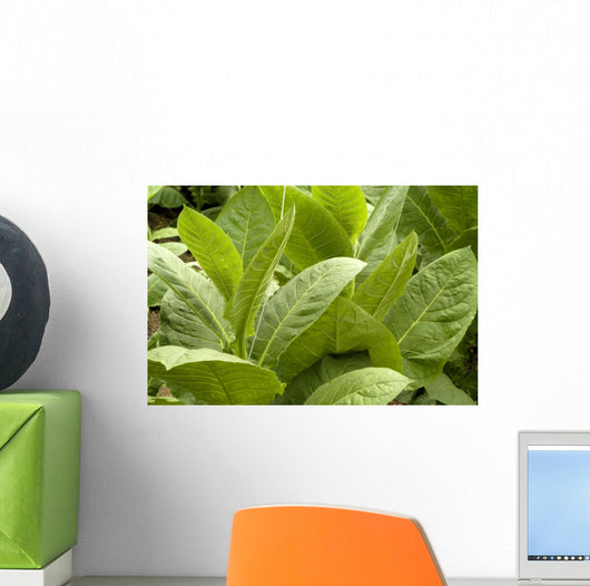 Tobacco leafs at plantation in Cuba Wall Mural