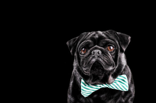 Black Pug with a bow tie Wall Mural