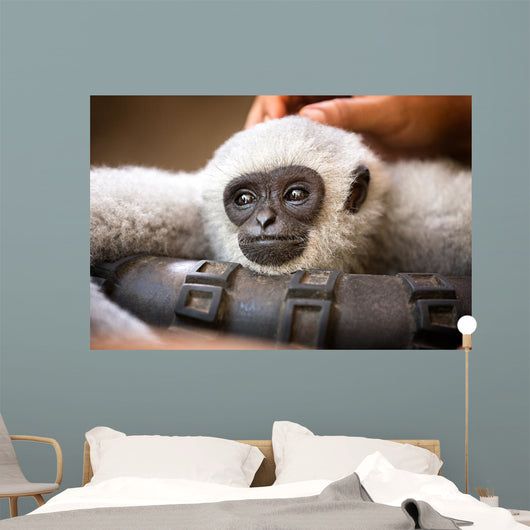 Young Monkey Enjoys Pampering Wall Decal