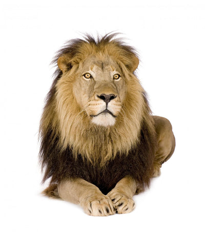 Lion 4 and Half Wall Decal