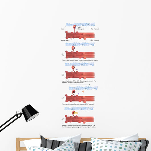 Illustration Muscle Contraction with Wall Decal