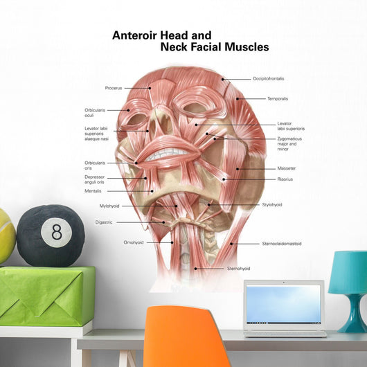 Anterior Neck and Facial Wall Mural
