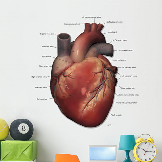 Anterior Human Heart Anatomy Labeled Wall Decal