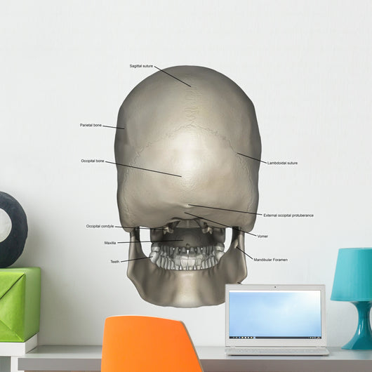 Posterior Human Skull Anatomy Labeled Wall Decal