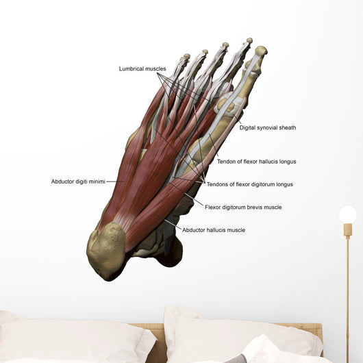 3D Model Foot Sole Muscles 2 Labeled Wall Decal