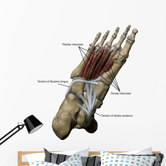 3D Model Foot Sole Tendons Labeled Wall Decal