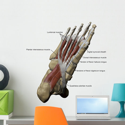 3D Model Foot Sole Muscles 1 Labeled Wall Decal