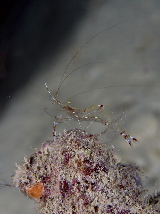 Cleaner Shrimp Yap Micronesia Wall Decal