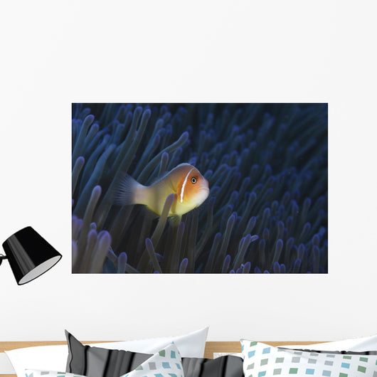 Pink Anemonefish Yap Micronesia Wall Decal