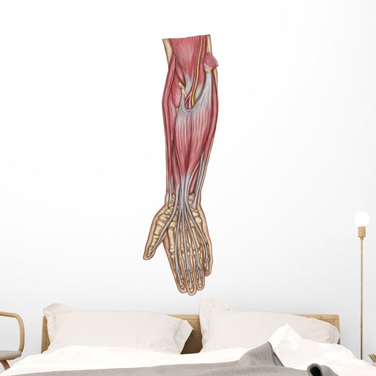 Anatomy Forearm Muscles Anterior Wall Decal