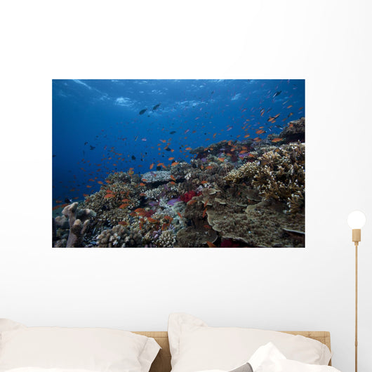 Schooling Anthias Fish Wide Picture Wall Decal