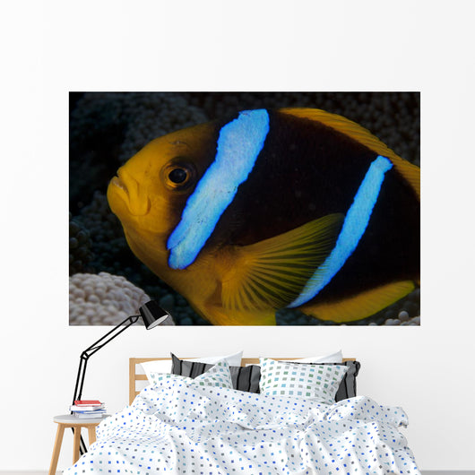 Orange-fin Anemonefish Its Host Wall Decal