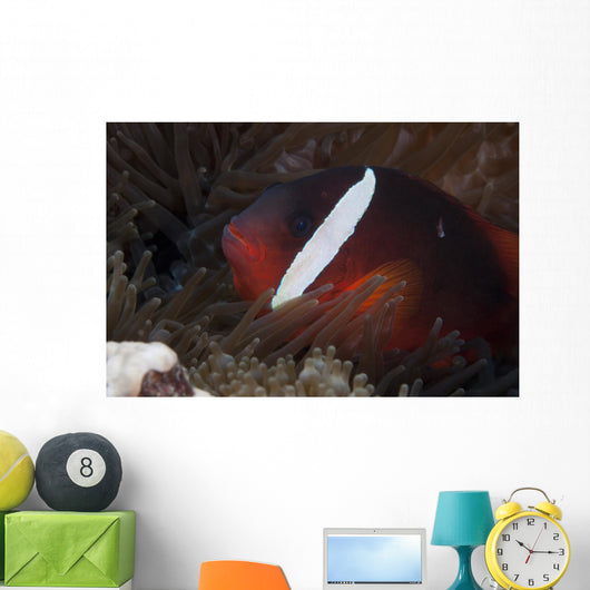 Tomato Clownfish Its Host Close-up Wall Decal
