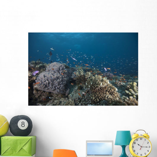Schooling Anthias Fish Looking Down Wall Decal