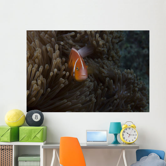 Pink Anemonefish Its Host Wall Nestled Decal