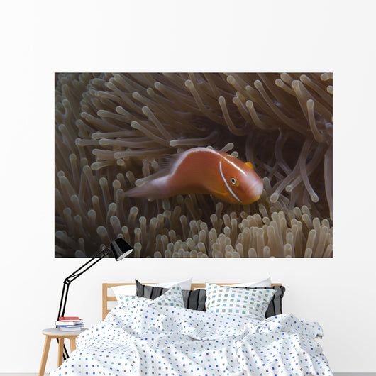 Pink Anemonefish Its Host Looking at Camera Wall Decal