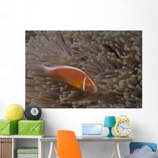 Pink Anemonefish Its Host Top Right Wall Decal