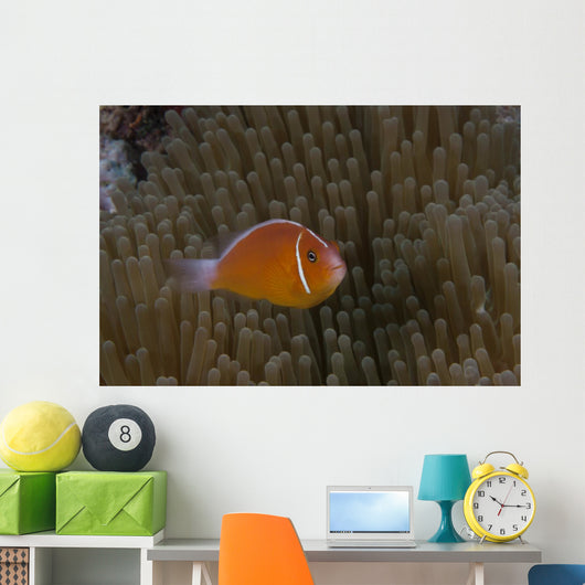 Pink Anemonefish Its Host Right Profile Wall Decal