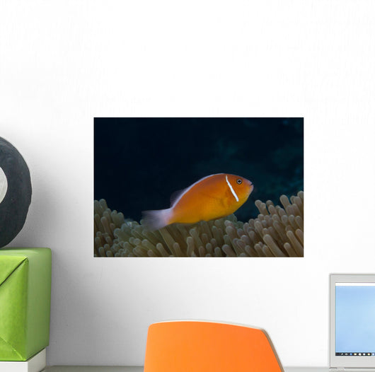 Pink Anemonefish Its Host Right Side Wall Decal