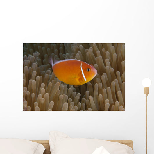 Pink Anemonefish Its Host Close Right Wall Decal