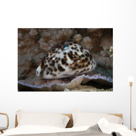 Large Tiger Cowrie Fiji Wall Decal