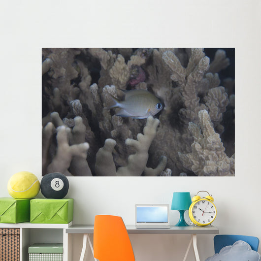 Small Ambon Chromis Swimming Wall Decal