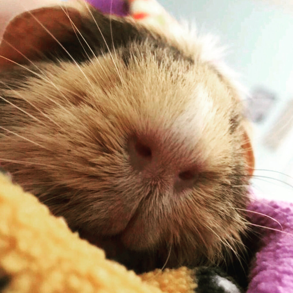 Elli is July's Featured Guinea Pig of the Month!