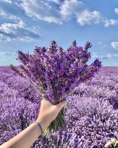 Lavender Field Lotion