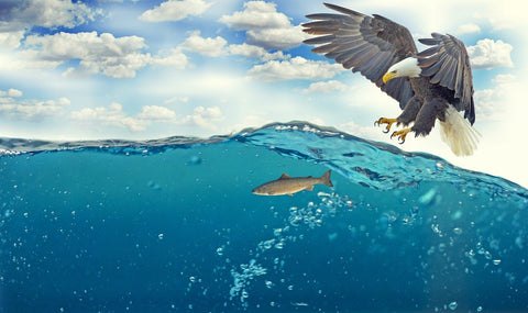 Eagle Attacking Fish