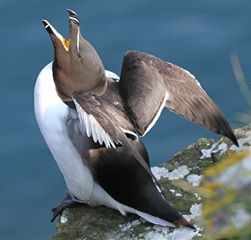 Razorbill wings