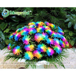 100PC Rainbow Chrysanthemum Flower Seeds, - SmilyDeals