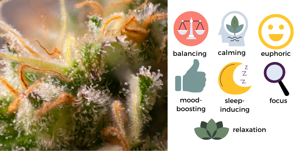 Cannabis Terpenes and Entourage Effect