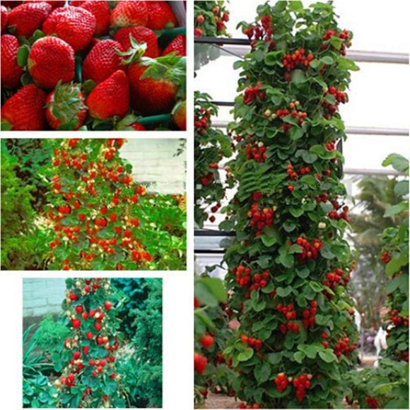 Climbing Colorful Strawberry Seed - 100 Seed
