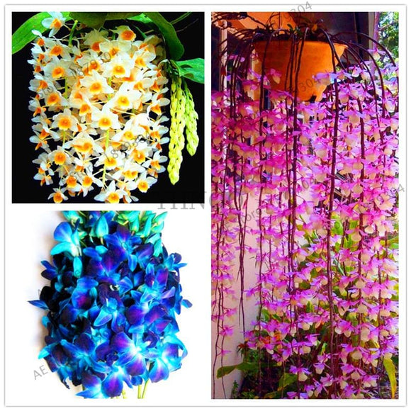 Dendrobium Seeds Mixed Colors - 100 Seeds