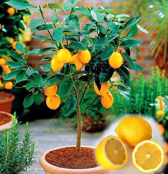 Edible Meyer Lemon Seeds - 20 Seeds