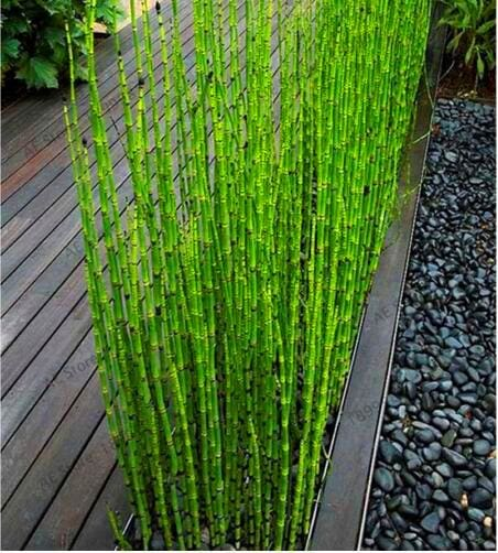 Fresh Moso Bamboo Plant - 20 Seeds