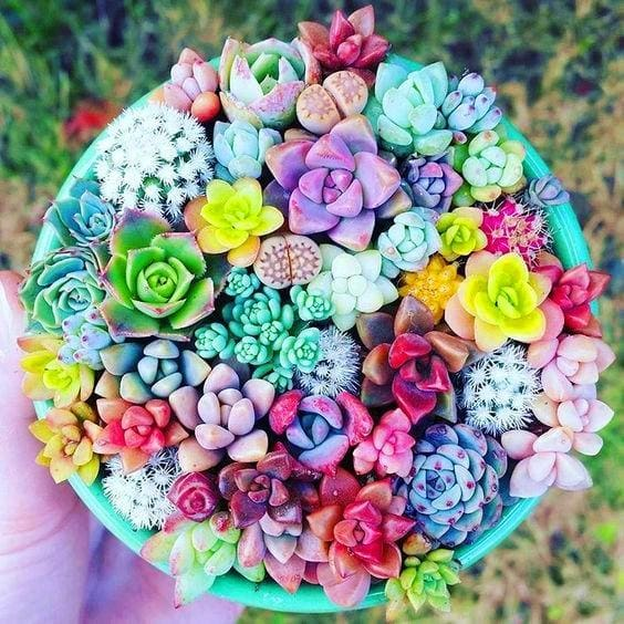 Mixed Beauty Succulents - 100 Seeds