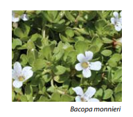 Bacopa for brain fog