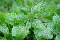 Lemon Balm ( Mellissa officinalis)